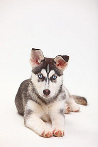 Siberian Husky, puppy, 11 weeks, lying down.  -  Petra Wegner