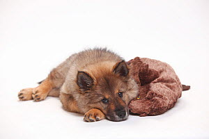 Eurasier, puppy, 10 weeks, lying down with soft toy.  -  Petra Wegner