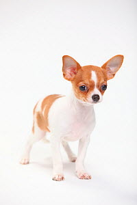 Chihuahua, puppy, smooth haired, 3 1/2 months, standing portrait.  -  Petra Wegner