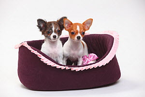 Chihuahua, puppies, smooth haired on right and long haired, 3 1/2 months, sitting in basket  -  Petra Wegner