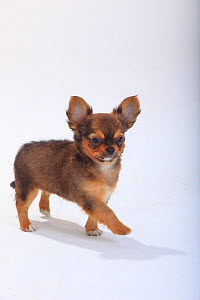 Chihuahua, longhaired puppy, 9 weeks, standing portrait. - Petra Wegner