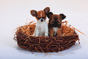 Chihuahuas, longhaired, two puppies, 9 weeks, sitting in a straw basket  -  Petra Wegner