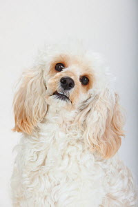 Mixed breed, white, long haired Cockerpoo /  Cockapoo dog, head portrait. Poodle Cocker spaniel cross,  -  Petra Wegner