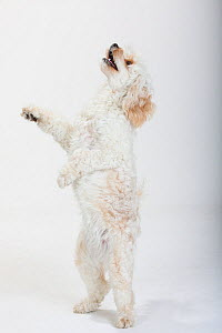 Mixed breed, white, long haired Cockerpoo /  Cockapoo dog, standing on back legs, looking up. Poodle Cocker spaniel cross - Petra Wegner