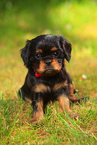 Cavalier King Charles Spaniel, puppy, black-and-tan, 6 weeks, sitting on grass, wearing collar.  -  Petra Wegner