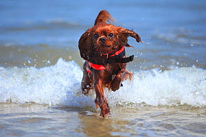 Cavalier King Charles Spaniel, ruby, running out of the sea wearing a lifejacket / life vest.  -  Petra Wegner