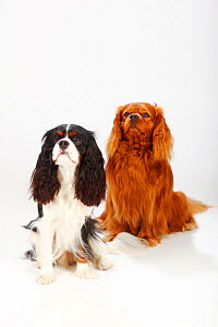 Cavalier King Charles Spaniel, ruby, 4 years, on right and tricolour, 14 month puppy, sitting portrait, both looking up.  -  Petra Wegner