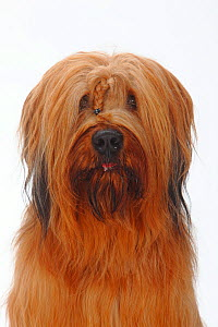 Briard / Berger de Brie, head portrait with plaited hair between eyes.  -  Petra Wegner
