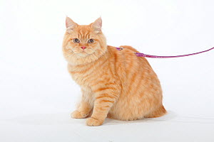 British Longhair, Highlander / Lowlander / Britanica tomcat on harness and leash. - Petra Wegner