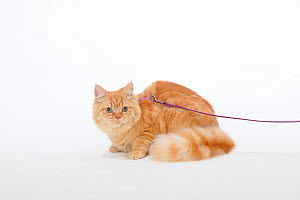British Longhair, Highlander / Lowlander / Britanica tomcat, sitting portrait with harness and leash. - Petra Wegner