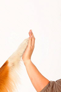 Australian Shepherd, red-tri, close up of paw touching womans hand. Model released  -  Petra Wegner