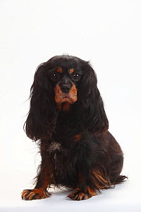 Cavalier King Charles Spaniel, black-and-tan, bitch, 7 years.  -  Petra Wegner