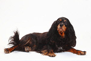 Cavalier King Charles Spaniel, black-and-tan, bitch, 7 years, lying down portrait.  -  Petra Wegner