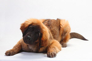Leonberger, puppy, 5 months, lying down with head up and tilted.  -  Petra Wegner
