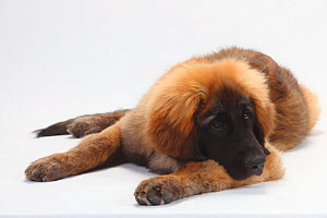 Leonberger, puppy, 5 months, lying down with head resting on front leg.  -  Petra Wegner