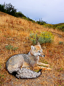 Argentine grey fox (Pseudalopex griseus) resting on ground, Torres del Paine National Park, Patagonia, Chile - Oriol Alamany