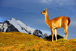 Guanaco (Lama guanicoe) Torres del Paine National Park, Patagonia, Chile - Oriol Alamany