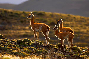 Guanaco (Lama guanicoe) three young standing alert, Torres del Paine National Park, Patagonia, Chile - Oriol Alamany