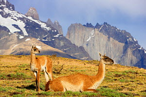 Guanaco (Lama guanicoe) female with young chulengo in Torres del Paine National Park, Patagonia, Chile  -  Oriol Alamany