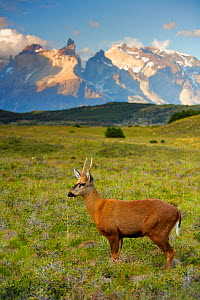 Chilean huemul or South Andean deer (Hippocamelus bisulcus), Torres del Paine National Park, Patagonia, Chile. Endangered species  -  Oriol Alamany
