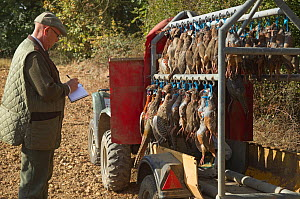 Collecting up shot Red legged Partridges and pheasants from shoot, UK  -  Ernie Janes