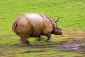 Indian rhinoceros (Rhinceros unicornis) charging, captive - Ernie Janes