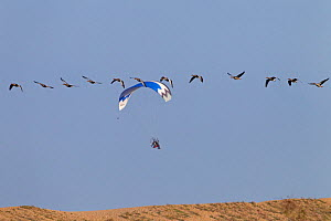 Greylag geese (Anser anser) in flight with paraglider behind, Cley bank, Norfolk, UK  -  Ernie Janes