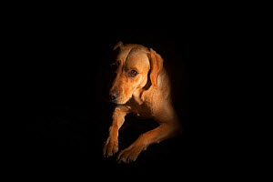 Yellow Labrador (Canis familiaris) portrait, UK - Ernie Janes