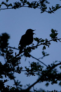 Common nightingale (Luscinia megarhynchos) silhouetted in a bush, singing during dawn chorus, Cambridgeshire, April 2010 - Chris Gomersall / 2020VISION