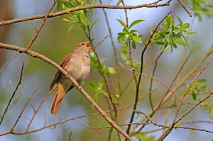 Common nightingale (Luscinia megarhynchos) singing in willow (Salix sp), Cambridgeshire, April 2011 - Chris Gomersall / 2020VISION