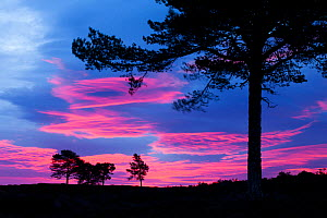 Scots pine (Pinus sylvestris) silhouetted at dawn, Cairngorms NP, Scotland, UK, October 2011 - Mark Hamblin / 2020VISION