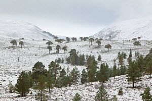 Scattered Scots pines (Pinus sylvestris) in winter, Abernethy NNR, Cairngorms NP, Scotland, UK, December 2011 - Mark Hamblin / 2020VISION