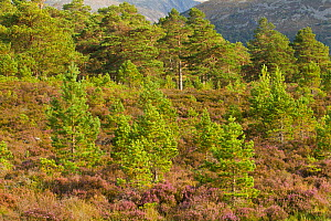 Scots pines (Pinus sylvestris) and heather on a hillside, Rothiemurchus, Cairngorms NP, Scotland, UK - Mark Hamblin / 2020VISION