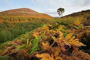 Scots pine forest extending up to natural tree line, with bracken (Pteridium aquilinum) in foreground, Rothiemurchus, Cairngorms NP, Scotland, UK, September 2011 - Mark Hamblin / 2020VISION