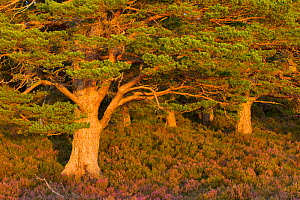 Scots pine (Pinus sylvestris) in late evening light with flowering heather (Ericaceae sp), Rothiemurchus Forest, Cairngorms NP, Scotland, UK, September 2011. Did you know? A Scots Pine seed only weigh... - Mark Hamblin / 2020VISION