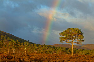 Scots pine (Pinus sylvestris) on moorland, with rainbow, Cairngorms NP, Scotland, UK, September 2011 - Mark Hamblin / 2020VISION