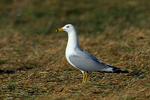 Ring-billed gull (Larus delawarensis) profile, Quebec, Canada, March - Loic Poidevin