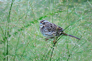White throated sparrow (Zonotrichia albicollis) perched on grass, Quebec, Canada, October  -  Loic Poidevin