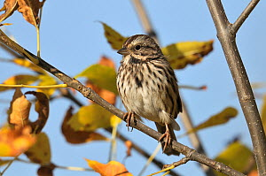 White throated sparrow (Zonotrichia albicollis) perched, Quebec, Canada, October  -  Loic Poidevin