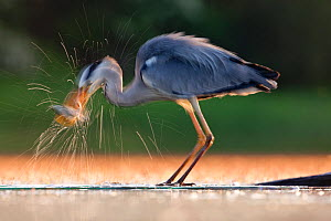 Grey Heron (Ardea cinerea) taking a fish from water. Kiskunsagi National Park, Hungary, May.  -  Sue Flood - TD