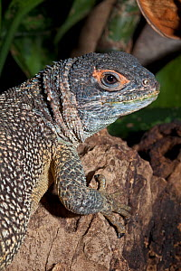 Madagascan Spiny Iguana (Oplurus cuvieri cuvieri). Captive. Endemic to Madagascar. UK, June.  -  Rod Williams