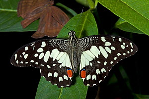 Chequered / Lime Swallowtail Butterfly (Papilio demoleus). Captive. Endemic to Thailand. UK, June. - Rod Williams