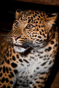 Young male North Chinese Leopard (Panthera pardus japonensis). Captive. Endemic to northern China. Endangered. UK, June. - Rod Williams