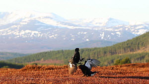 Two male Black grouse (Tetrao tetrix) fighting at lek site, with mountain backdrop, Cairngorms NP, Scotland, UK, April 2010 - Mark  Hamblin / 2020VISION