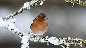 Male Chaffinch (Fringilla coelebs) perched in falling snow, feathers being ruffled by wind, Inverness-shire, Scotland, UK, December 2011 - Mark  Hamblin / 2020VISION