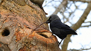 Jackdaw (Corvus monedula) pulling a very long twig into a small nest hole, Inverness-shire, Scotland, UK, April 2011 - Mark  Hamblin / 2020VISION