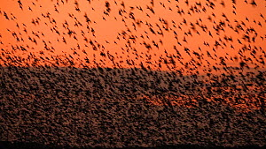 Murmuration of Common starlings (Sturnus vulgaris) silhouetted at sunset before settling to roost, Gretna Green, Dumfries and Galloway, Scotland, December 2011  -  Mark  Hamblin / 2020VISION