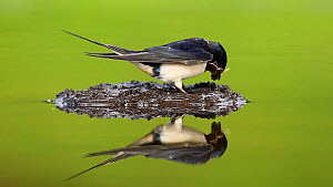 Adult Barn swallow (Hirundo rustica) collecting mud at pool for nest building, Inverness-shire, Scotland, UK, May 2011  -  Mark  Hamblin / 2020VISION