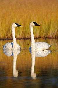 Trumpeter swans (Cygnus buccinator) adult pair on a nesting lake, Central Alaska, USA September - Gerrit Vyn