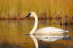 Trumpeter swan (Cygnus buccinator) adult on a nesting lake, Central Alaska, USA September - Gerrit Vyn